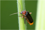 zwart Soldaatje - Cantharis rustica