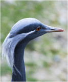 Juffer Kraanvogel - Anthropoides virgo