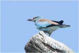 Scharrelaar - Coracias garrulus