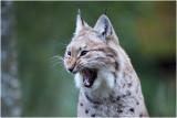 Lynx - Lynx lynx