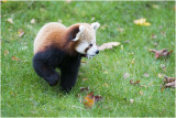 rode Panda - Ailurus fulgens