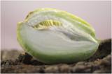 vrucht van Wrede Motplant - Araujia sericifera