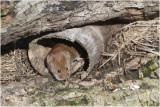 rosse Woelmuis - Myodes glareolus 19/1