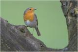 Roodborst - Erithacus rubecula 27/1