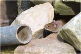 rosse Woelmuis - Myodes glareolus 6/3
