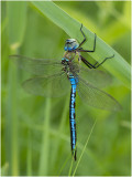 Libellen en waterjuffers - Dragonflies and Damselflies