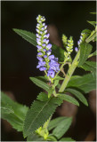 ZUID LIMBURG WILDE FLORA - Limburg Wild Flowers - des plantes sauvages