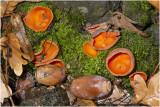 Grote Oranje Bekerzwam - Aleuria aurantia