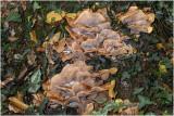 Knolhoningzwam - Armillaria lutea