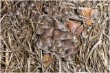 Bundelfranjehoed -  Psathyrella multipedata