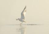 Seagulls feeding on perch copy.jpg