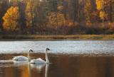 Swans on Coffee Pot lake copy.jpg