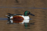 Northern shoveler (anas clypaeta), Clot de Galvany, Spain, January 2017