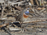 White-spotted bluethroat (luscinia svecica), San Felipe Neri, Spain, January 2017