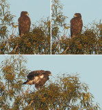 Greater spotted eagle (clanga clanga), Catral, Spain, January 2017