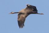 Common crane (grus grus), San Felipe Neri, Spain, January 2017