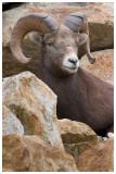 Mountain sheep.jpg