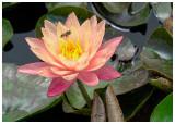 Waterlilly_1.jpg