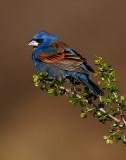 Blue Grosbeak