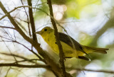 tanager_female