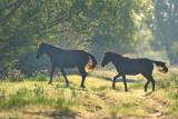 Chevaux sauvages du delta