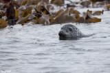 Phoque gris
