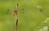Bruine korenbout - Libellula fulva ♀