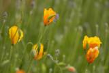 Gele papaver