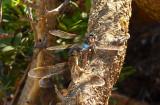 Zuidelijke keizerlibel - Anax parthenope