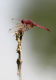 Purperlibel - Trithemis annulata