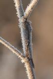 Noordse winterjuffer -Sympecma paedisca,