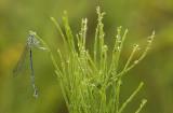 Blauwe breedscheenjuffer -Platycnemis pennipes