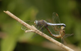 Beekoeverlibel (Orthetrum coerulescens)