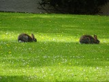 Lots of rabbits at Whitbarrow Village