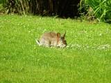Rabbit at Whitbarrow Village