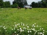 Greystoke village ponies
