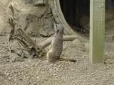 Leaning meercat