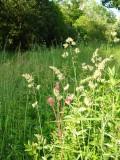 Verge grasses