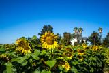 Sunflowers Sacramento Valley