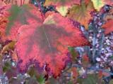 Random Fall Leaves (iPhone XS Max)