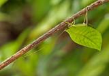 Leaf Cathydid Sumaco