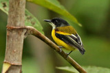 Golden-winged Tody-Flycatcher