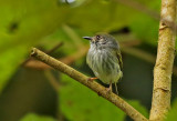 White-bellied Pygmy-Tyrant