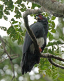 Red-throated Caracara