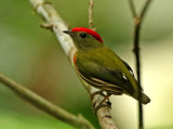 Western Striped Manakin