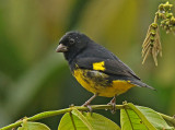 Yellow-bellied Siskin