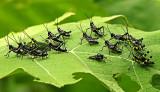 Grasshoppers Gareno