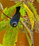 Golden-eyed Flowerpiercer