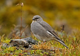 White-winged Diuca-Finch