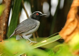 Ash-breasted Antbird